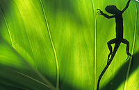 Silhouette of a lizard through a green leaf<br /> St. John<br /> U.S. Virgin Islands