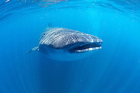 Whale shark in Holbox, Mexico.