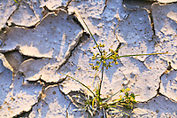 A young grass plant pushes up through hard, cracked ground.