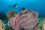 Elephant ear sponge (Ianthella basta) with crinoids and diver