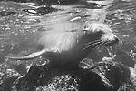 South Plazas Island, Galapagos, Ecuador; Galapagos Sea Lion (Zalophus wollebaeki) just under the water's surface near the volcanic rocks of the shoreline