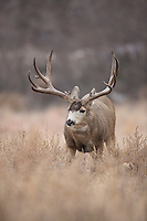 Mule deer buck during the fall rut