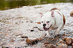 Bulldog mix dog walking in river