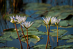 Water Lily blume