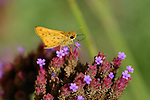 Fiery Skipper on Swamp Verbena, Hylephila phyleus, Verbena bonariensis, Southern California