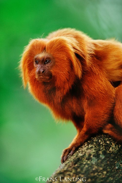 golden lion tamarin essay View essay - anobservationofgoldenliontamarinsoliviaswaim from biology ap at stony point h s 1 an observation of golden lion tamarins abstract i went to the san antonio zoo with the intentions of.
