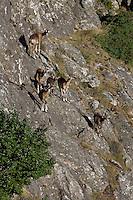 Mouflon/Ovis musimon/females and juveniles/Parc naturel regional du Haut-Languedoc/Caroux/France