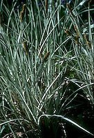 Carex riparia 'Variegata' in bloom (Greater Pond Sedge)