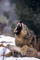 69492378 a captive gray wolf  canis lupus lays in a snowbank defending a deer carcass by snarling at an intruder and baring its fangs in central montana