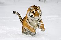 Siberian Tiger or Amur Tiger (Panthera tigris) in winter snow.  Endangered Species.