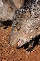Collared Peccary head (Tayassu tajacu), Tucson, Arizona, USA