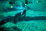 Florida, Tampa: Manatees at Lowry Park Zoo. Endangered species.  flmana102...Photo copyright Lee Foster, 510/549-2202, lee@fostertravel.com, www.fostertravel.com