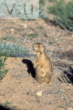 Utah Prairie Dog ,Cynomys parvidens, near the opening to its burrow, a threatened species, western USA.