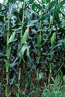 CORNFIELD<br />