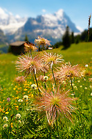Alpine Avens Seed heads. Alpine summer meadow.  Bernese Alps.