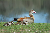Egyptian Goose with gosslings.