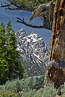 Grand Tetons, old limbar pine, Grand Teton National Park,