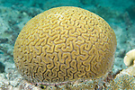 Bonaire, Netherlands Antilles; a small hemispherical head of Grooved Brain Coral (Diploria labyrinthiformis) grows out of the rocky sea floor, a small patch of white near the top, shows signs of coral bleaching , Copyright © Matthew Meier, matthewmeierphoto.com All Rights Reserved