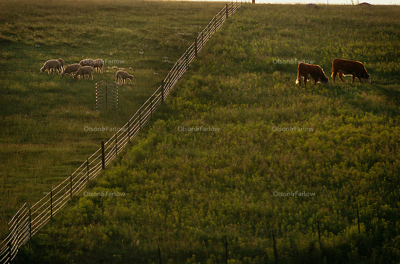 Cattle and sheep graze on a North Dakota State university research farm in Mandan where they test controls for invasive leafy spurge. They have found that sheep do like spurge and keep it mowed down in pastures. Pastures are divided into sheep and cattle plots and on the left, sheep have eaten the spurge leaving a pasture clear of spurge. But across the fence, cattle graze on grasses ignoring the spurge that makes them sick. <br />