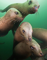 TA0978-Dv. Steller Sea Lions (Eumetopias jubatus), gregarious juveniles swimming together near rookery. British Columbia, Canada, Pacific Ocean. Cropped to vertical from native horizontal format.<br /> Photo Copyright &copy; Brandon Cole. All rights reserved worldwide.  www.brandoncole.com