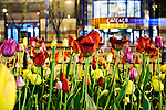 A Chicago building and vehicle motion trails are seen through sidewalk tulips along the Magnificent Mile in Chicago, Illinois, USA on 11 May 2009.