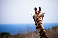 Giraffe at the Seaview Lion Park, (Thursday 9th July 2009), Eastern Cape, South Africa ,   Photo: joliphotos.com