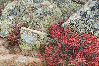 Lichen covered granite and groundcover foliage, Acadia National Park, Maine, USA