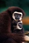 White-handed gibbon, Indonesia