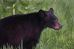 American black bear (Ursus americanus). Crane Flat area. Yosemite National Park. Mariposa Co., Calif.