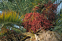 Clusters of dates growing on a date palm tree, Portugal.