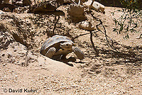 0609-1009  Desert Tortoise Emerging from Burrow to Forage for Food (Mojave Desert), Gopherus agassizii  © David Kuhn/Dwight Kuhn Photography
