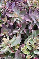 Sedum Purple Emperor foliage in spring May, emerging