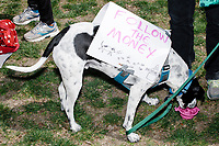 """A dog wears a sign reading """"Follow the Money"""" in Cambridge Common during a Tax Day protest near Harvard Square in Cambridge, Mass., on Sat., April 15, 2017. The demonstrators called for President Donald Trump to release his tax returns. Trump refused to release his tax returns during the 2016 presidential campaign, in contrast to all previous major party presidential candidates, and continues to refuse to release them. The protest was part of a larger movement nationwide called Tax March."""