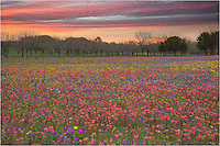 What I thought was going to be a clear sunrise, quickly turned cloudy. I captured this image of a field of Texas Wildflowers on Church Road near New Berlin as the final streaks of color lit up the morning sunrise.