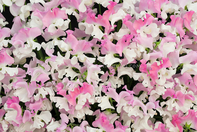 Lathyrus odoratus 'Promise' sweetpeas pink and white bicolour bicolor flowers