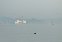 Harbor Seal (Phoca vitulina) with T/V State of Maine and Castine Harbor in the Distance, Castine, Maine, US