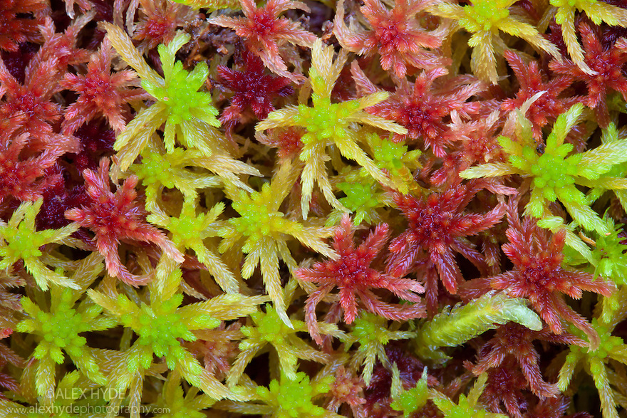 Sphagnum Moss {Sphagnum sp.}. Cairngorms National Park, Grampian Mountains, Scotland, UK, February.