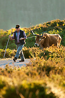 Soajo, Peneda Geres National Park, Portugal, June 2011. A lone farmer walks his bull in the early morning. Small hamlets, evergreen gardens and vineyards mark the Soajo area.  In the extreme North of Portugal, between the Atlantic Coast and the Spanish border are the mountains and valleys of Peneda Geres National Park. Walk along narrow shepherd trails or on the ancient cement of Roman roads. From lush river valleys to bare rocky mountain peaks.  Photo by Frits Meyst/Adventure4ever.com