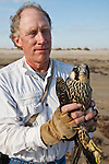 scientists with the Peregrine Fund trap, weigh, measure, band and release endangered peregrine falcons each fall at South Padre Island, Texas