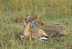 After a high speed chase, a cheetah kills an impala with a strangulation bite to the throat, Masai Mara National Reserve, Kenya