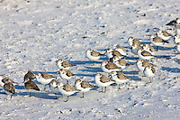 Sanderlings on the beach at Anna Maria Island, Florida, United States of America