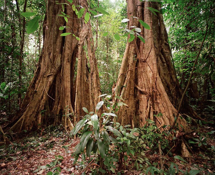 Tree trunks in the rainforest, Tambopata Nature Reserve, Amazon region, Peru, South America