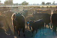 Cattle farming..For larger JPEGs and TIFF versions contact EFFECTIVE WORKING IMAGE via our contact page at : www.photography4business.com