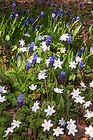 Anemone and Muscari latifolium (grape hyacinths) in spring flower combination, spring flowering bulbs perennials