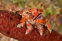 Cryptic Teardrop Crab<br /> Pelia mutica<br /> Devils Table<br /> Grenadines
