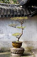 Bonsai tree in the Yu Gardens, Shanghai, China