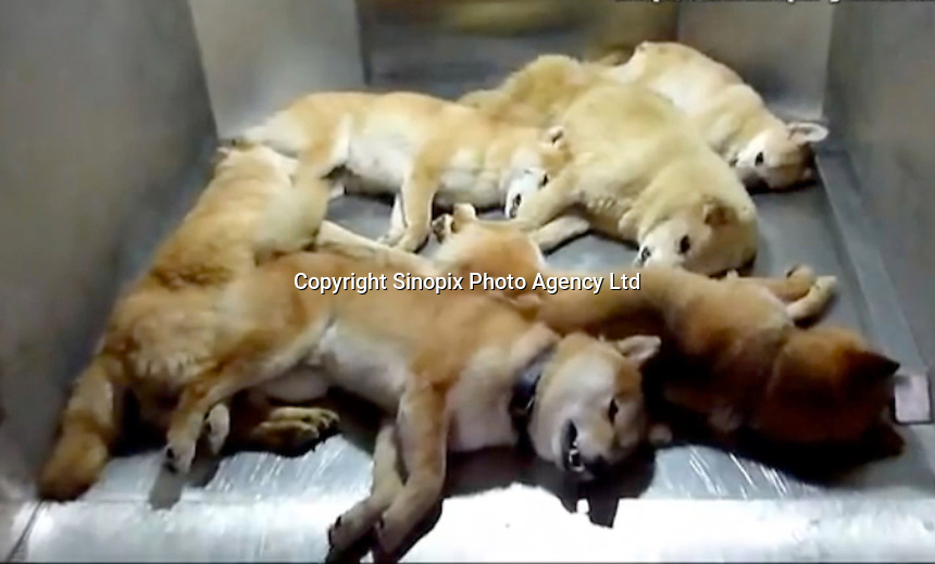 "Dead dogs in a ""dreambox"" in a hokenjo or animal collection and health center.  Japan kills over 200,000 cats and dogs annually by gassing them with carbon dioxide...photo by  / Sinopix............"