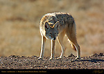 Coyote, The Trickster, Bosque del Apache Wildlife Refuge, New Mexico