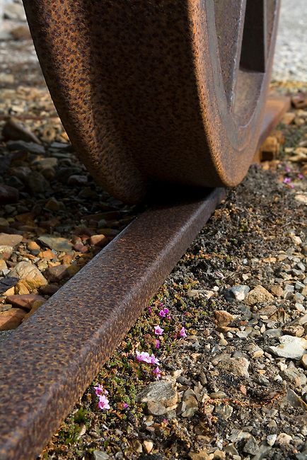 Purple saxifrage in flower by the abandoned railway line at Blomstrandhalvoya. Spitsbergen.