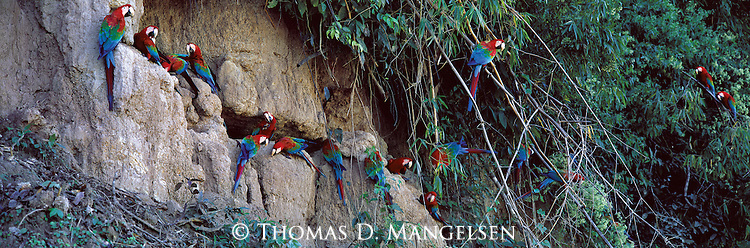 Clinging to a cliff high above a remote Amazon-basin river, a flock of macaws chisel away at mineral rich clay with their strong, well-equipped bills.<br /> Manu National Park, Peru